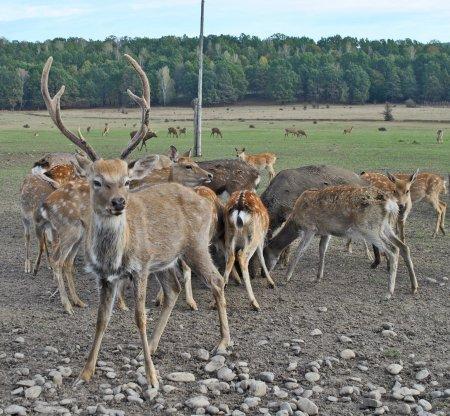 Унікальне місце: у закарпатському селі можна побачити справжніх плямистих оленів