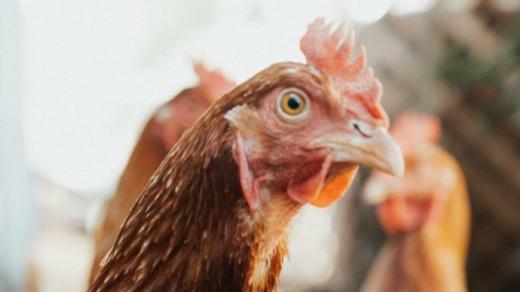 Більше 10 країн ввели заборону на імпорт української курятини — МХП
