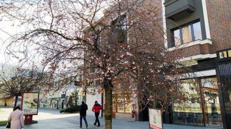 Сакури поволі починають квітнути на Закарпатті
