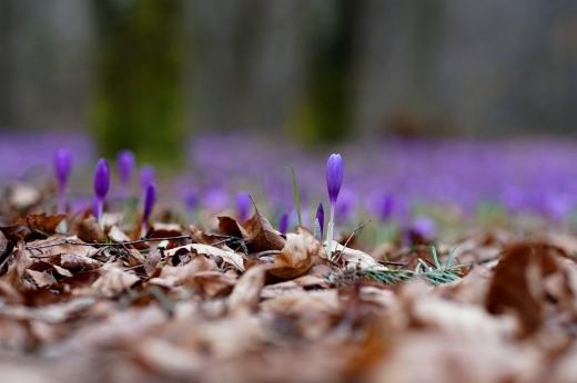 """Перші весняні квіти зацвіли у дендропарку """"Березинка"""""""