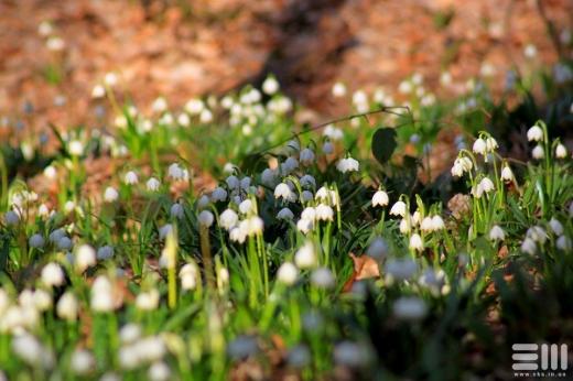 На Закарпатті почали квітнути білоцвіти (ФОТО)