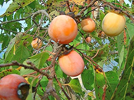 Саджанці плодових рослин