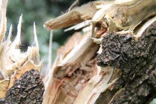 В Ужгороді дерево впало на легкові автомобілі