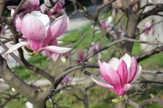 Ужгородська весна: в обласному центрі починають квітнути дерева