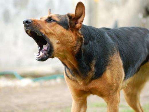 У Виноградові посеред вулиці собаки покусали вагітну жінку з малолітніми дітьми (ВІДЕО)