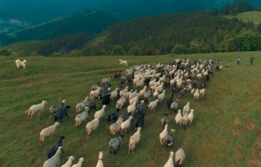 На Міжгірщині відбулися традиційні проводи овець на полонину