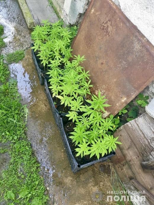 У закарпатця вилучили нарковмісні рослини