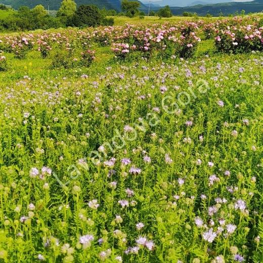 Неймовірні поля лаванди розквітли на Закарпатті