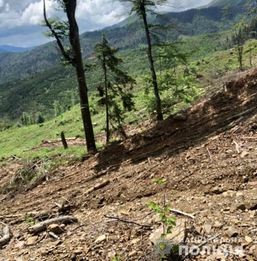 На Закарпатті посадовці лісового господарства причетні до незаконної порубку понад 400 дерев породи бук
