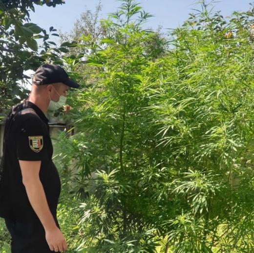 На Ужгородщині поліцейські виявили на присадибній ділянці 30-річного чоловіка двометрові посіви конопель