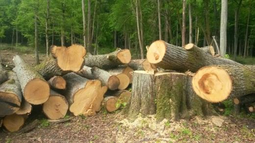 На Закарпатті судитимуть двох жителів Великоберезнянщини за незаконну порубку та збут дубів