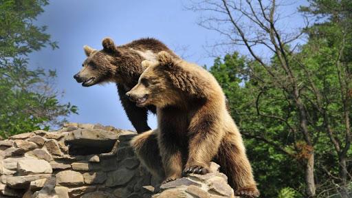 Як бурих ведмедів готують до зимівлі