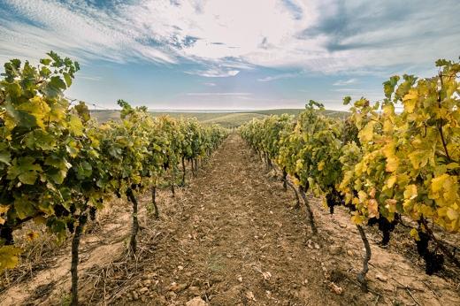 """В Ужгороді для туристів відкрили виноградник """"Виноградна гора"""""""