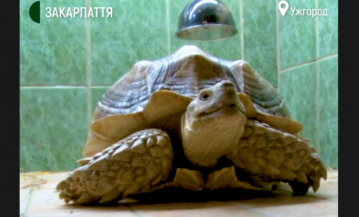 Величезна черепаха оселилася в ужгородському екзотаріумі