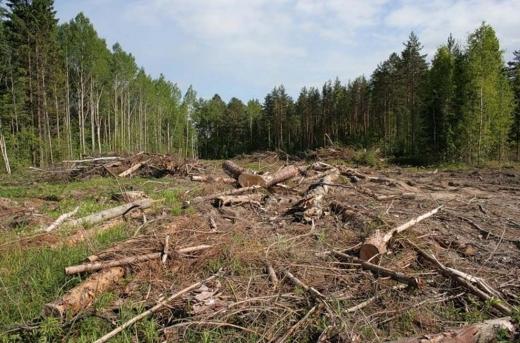 Закарпатця судитимуть за порубку дерев у природно-заповідному фонді