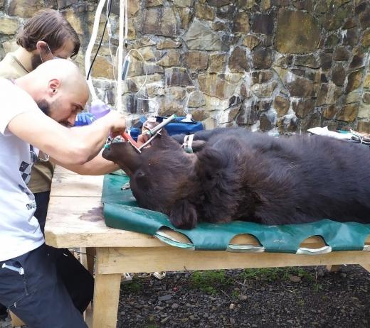 """У національному парку """"Синевир"""" бурим ведмедям лікували зуби"""