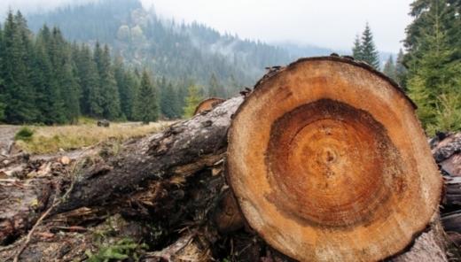 Трьох посадовців лісництва на Рахівщині судитимуть за незаконні рубки