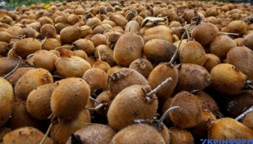 """""""Вигідніше, ніж яблука"""": на плантації ужгородського селекціонера зібрали урожай ківі"""