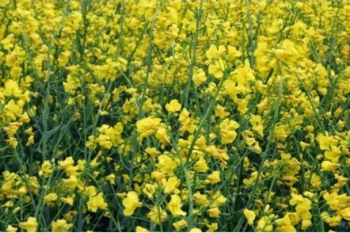 Продуктивні насіння озимого ріпаку з багатим потенціалом