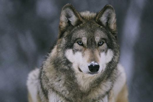 Вовки гуляють під оселями закарпатців (ВІДЕО)
