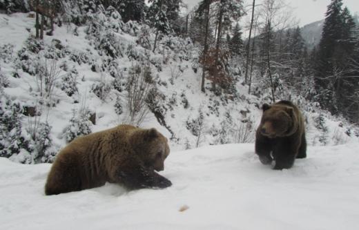 """У реабілітаційному центрі """"Синевир"""" деякі ведмеді не впали у сплячку"""