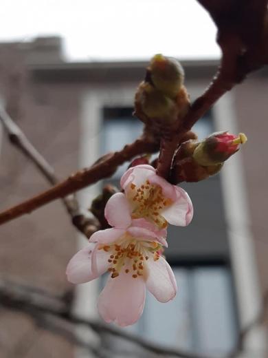 На Закарпатті зацвіла сакура посеред зими
