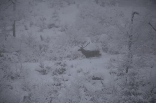 У мережі показали світлини оленів у Карпатах (ФОТО)
