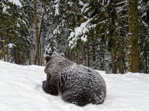 """Бурі ведмеді реабілітаційного центру """"Синевир"""" впадають в сплячку"""