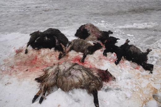 На Міжгірщині на одне з обійсть напали вовки (18+)