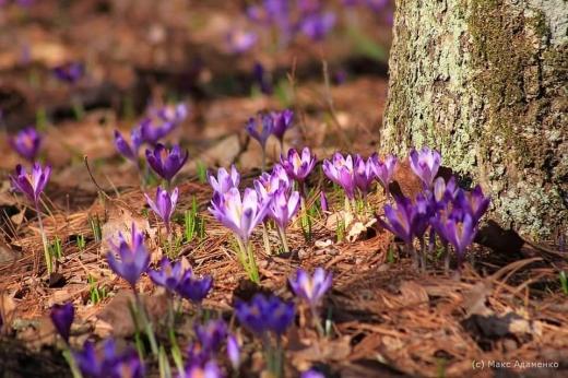 На Закарпатті почалося масове цвітіння шафранів