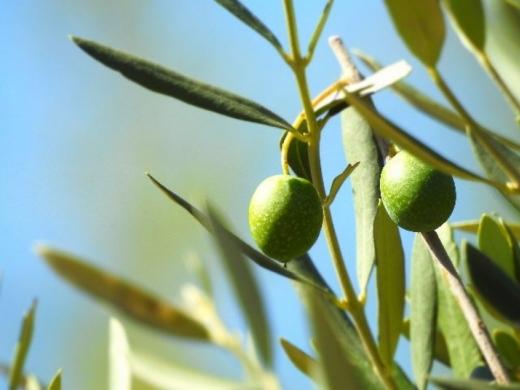 В Італії сонячні електростанції з'являться в оливкових садах