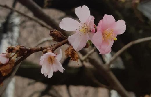 У Мукачеві зацвіла сакура (ФОТО)