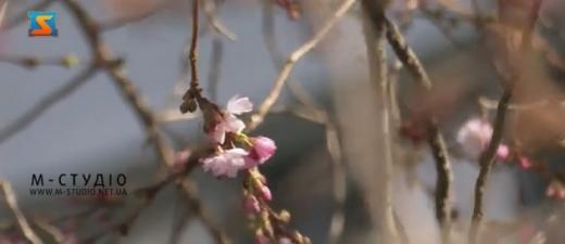 У Мукачеві зацвіла перша сакура