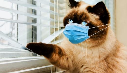 Кішки хворіють на коронавірус, але не такий, як у людей