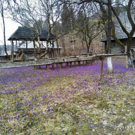 У Колочаві зацвіла Долина шафранів
