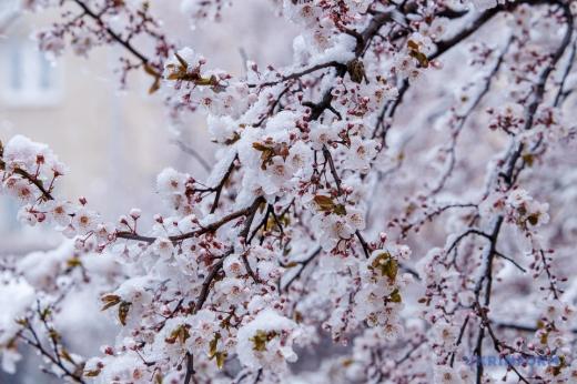 У полоні снігу: на Закарпатті засипало дерева, що зацвіли