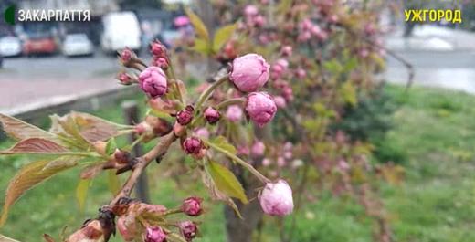 Ужгород готується приймати туристів у період цвітіння сакур (ВІДЕО)