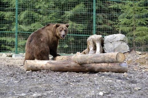 У реабілітаційному центрі бурих ведмедів нацпарку «Синевир» з'явилось поповнення (ВІДЕО)