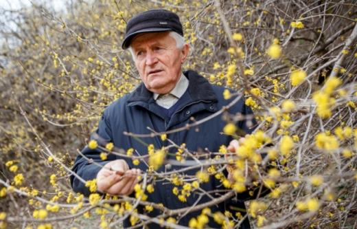 На Закарпатті цвіте найдавніша плантація кизилу в країні