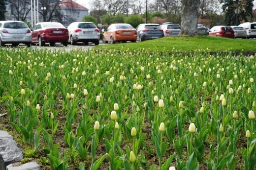 В Ужгороді спіймали на гарячому чоловіка, який зрізав тюльпани з міської клумби