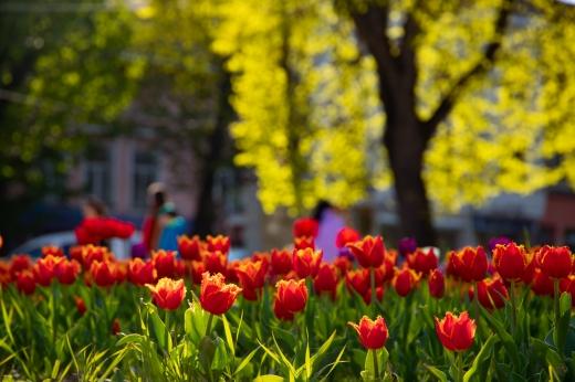 """""""Тюльпанова лихоманка"""": в Ужгороді квітнуть близько 30 тисяч тюльпанів"""