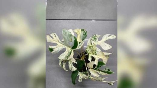 На аукціоні продали кімнатну рослину за 19 тисяч доларів: як вона виглядає