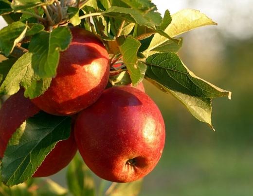 Сорти яблунь